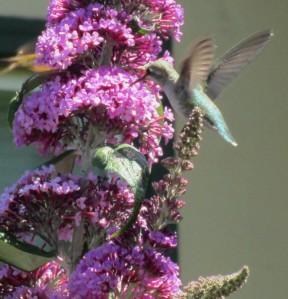 Hummingbird 2013 #3