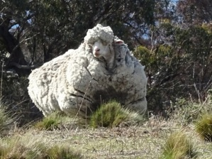 "An undated handout photo obtained on September 2, 2015 from the RSPCA shows a giant woolly sheep on the outskirts of Canberra as Australian animal welfare officers put out an urgent appeal for shearers after finding the sheep with wool so overgrown its life was in danger. The very woolly merino sheep was spotted wandering on its own near Mulligan Flats, a grassy woodland just outside the capital Canberra, by bushwalkers who alerted local RSPCA officers. AFP PHOTO / RSPCA ----EDITORS NOTE ----RESTRICTED TO EDITORIAL USE MANDATORY CREDIT ""AFP PHOTO / RSPCA"" NO MARKETING - NO ADVERTISING CAMPAIGNS - DISTRIBUTED AS A SERVICE TO CLIENTS - NO ARCHIVESRSPCA/AFP/Getty Images"