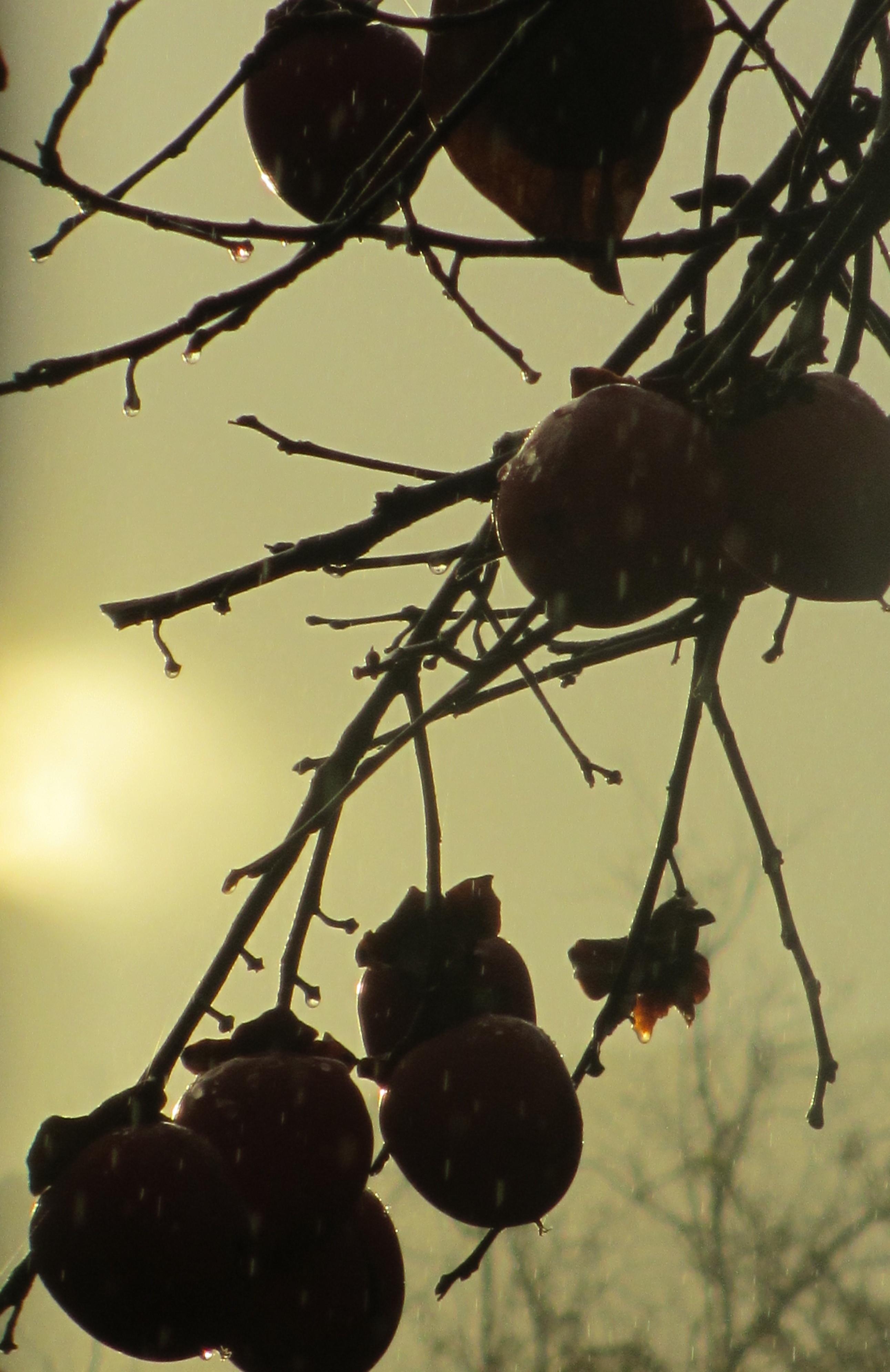 persimmon-tree-2017
