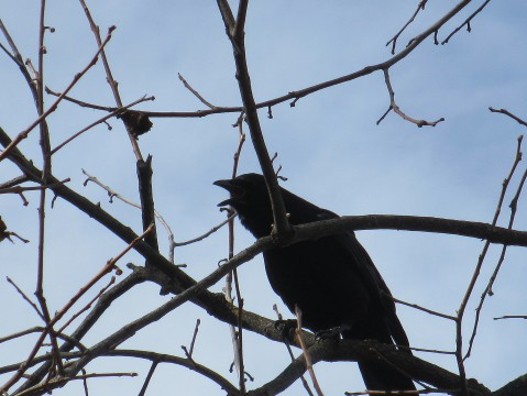 Crow In The Persimmon #4