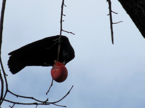 Crow In The Persimmon Tree #3