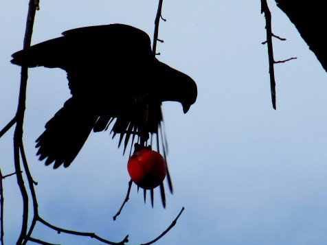 Crow In The Persimmon Tree